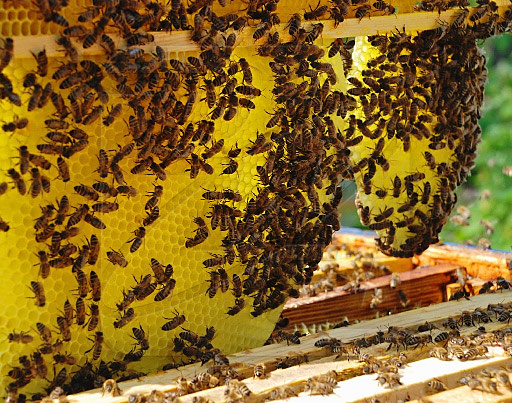Бортевое царство пчел
